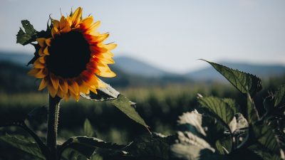 A photograph of a sunflower in the foregound with the sunlight making the petals glow, and the Blue Ridge mountains in the background
